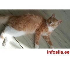 Пропал рыжий кот, Veski 2.